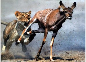 lion and gazelle, gazelle and lion,