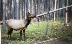 2018 archery elk, cow elk archery, bull elk archery, call elk archery, idaho elk archery
